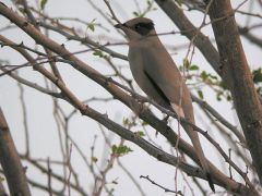 Grey Hypocolius. This enigmatic species is the sole member of the genus Hypocolius, closely resembling the Bombycillinae (waxwings) in many aspects, but the taxonomy is controversial. Males have a distinctive black face mask extending to nape and white-tipped blackish primaries; a most distinctive species. Photo by Ian Boustead