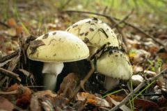 Amanita phalloides. 