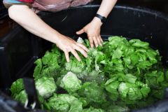 Farm workers tend to fresh, leafy greens still in the ground and follow with an initial quick wash.