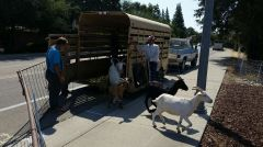 The goats will be in the open spaces on City of Citrus Heights property and Sunrise Parks and Recreation District property. Photo courtesy City of Citrus Heights