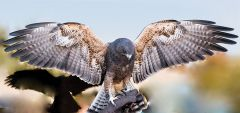 Trek, a Swainson's Hawk, will be one of the birds coming to the Rancho Cordova Library at 4 p.m., Thursday, August 24. Courtesy Kelli Moulden.