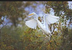 Dramatic in takeoff, the great egret is one of many avian species likely to be observed during two Bird and Breakfast events at Effie Yeaw Nature Center. Photo by Susan Maxwell Skinner