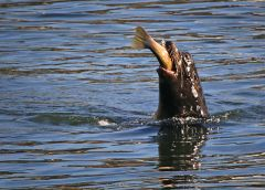Gulp. Below the out-flow from Nimbus Dam, salmon, trout and even waterfowl provided a banquet for a sea lion visitor.  Over a period of two weeks, the marine mammal twice visited Nimbus to feast.