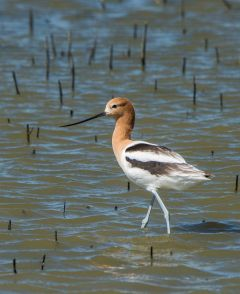 An American Avocet searches for food in the shallow wetlands of the Yolo Bypass Wildlife Area. Join Yolo Basin Foundation at 8 a.m. on Saturday, May 12 for a guided tour through the Wildlife Area. Photo courtesy Mike Reinhart