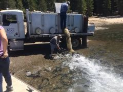Some of the 10,000 pounds of trout being delivered to Union Valley Reservoir while a television news photographer shoots video. This is the fourth of 50 summers SMUD and CDFW will stock three Crystal Basin Recreation Area reservoirs with at least 25,000 pounds of fish. The fish stocking effort helps SMUD meet conditions of operating its federal license to operate its Upper American River Project hydroelectric facilities. Photo courtesy SMUD