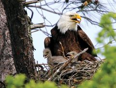 For two breeding seasons, bald eagle parents have raised families high above the American River.