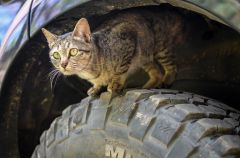 A workshop being offered on September 30 at Carmichael Library will teach community members how to improve the situation for both feral cats and humans who share the same neighborhood. Photo courtesy Sac Feral Resources