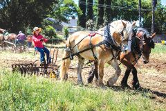 Visitors can watch draft horse demonstrations at Soil Born Farms' Day on the Farm in May. Photo by John Swain, courtesy Soil Born Farms
